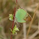 Green Hairstreak by jesika