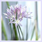 Flower | Flowers | Purple Chive | Kitchen Garden | Nadia Bonello by Nadia Bonello