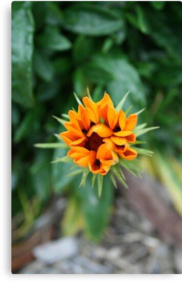 Floral Star by laurynwood