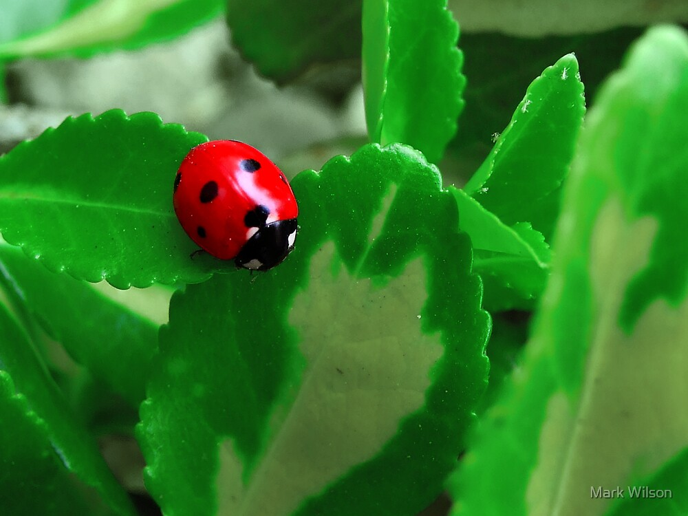 Ladybug by Mark Wilson