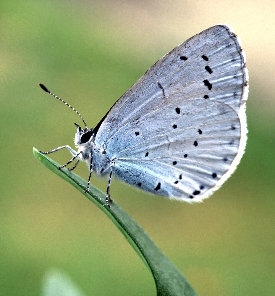 Holly Blue Butterfly by kitlew