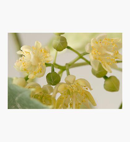 Basswood Tree Blossoms - Macro Photographic Print