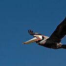 Gliding Pelican by Steve Bulford
