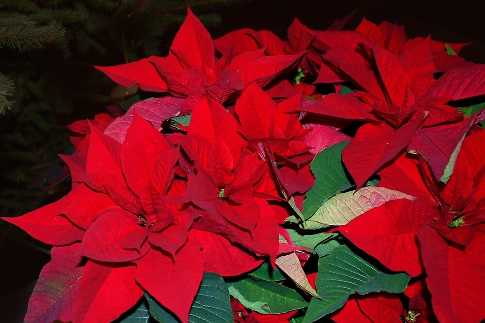 Christmas star Poinsettia by Arie Koene