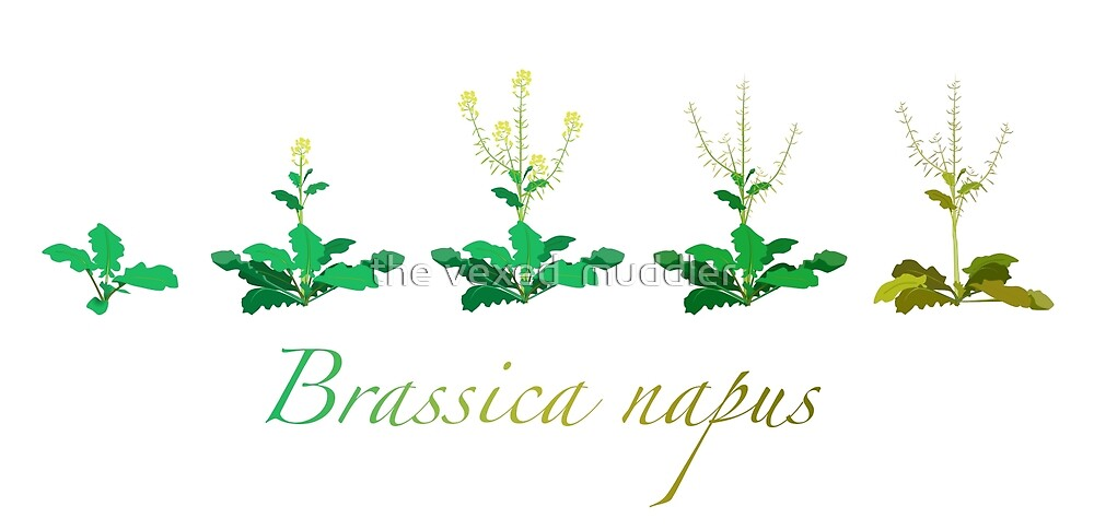 Brassica napus - Canola plant development  by the vexed  muddler