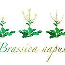 Brassica napus - Canola plant development  by the vexed  muddler