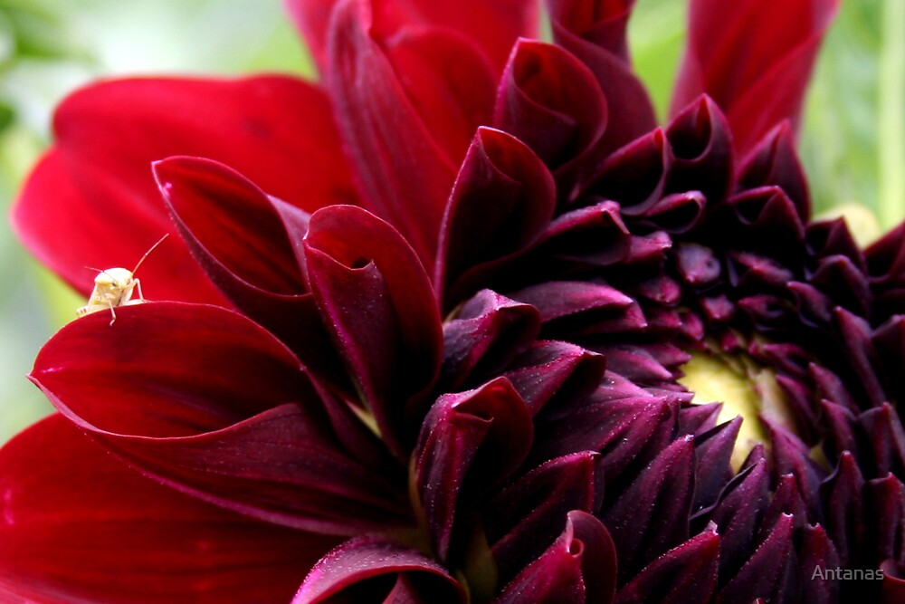 Red dahlia with insect by Antanas