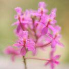 Crucifix Orchids by Michael Matthews