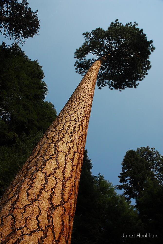 Ponderosa Tree by Janet Houlihan