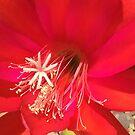 Red Cactus Flower by Margaret Stevens