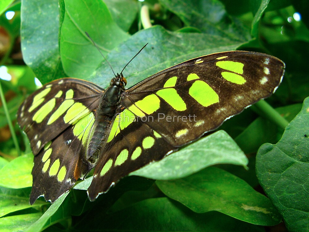 Malachite Butterfly by Sharon Perrett