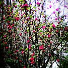 Pink Branches in Spring by EvePenman