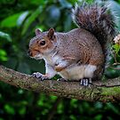 Common Eastern Gray Squirrel - UK by Marilyn Harris
