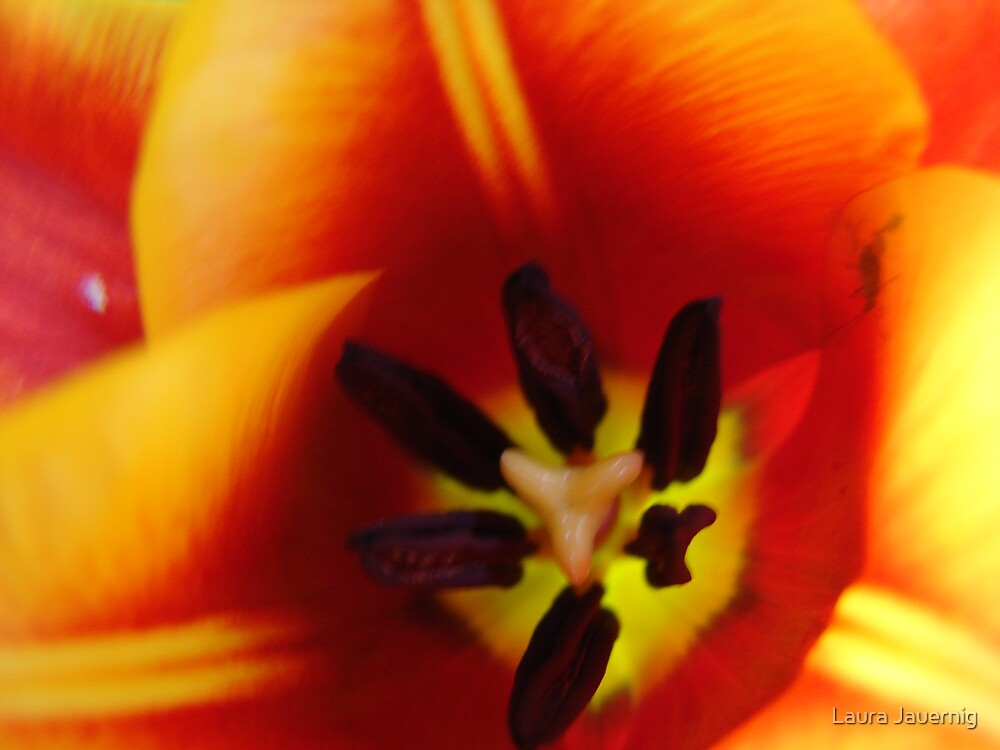 Tulip by Laura Jauernig