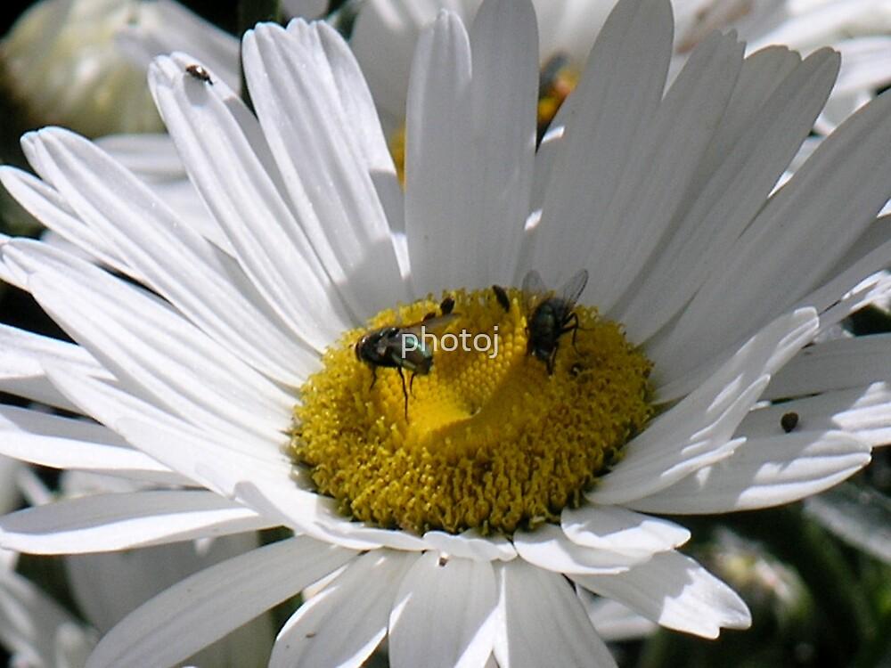 photoj Flora, Daisy Bugs by photoj