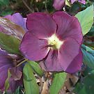Lenten Rose by Monnie Ryan