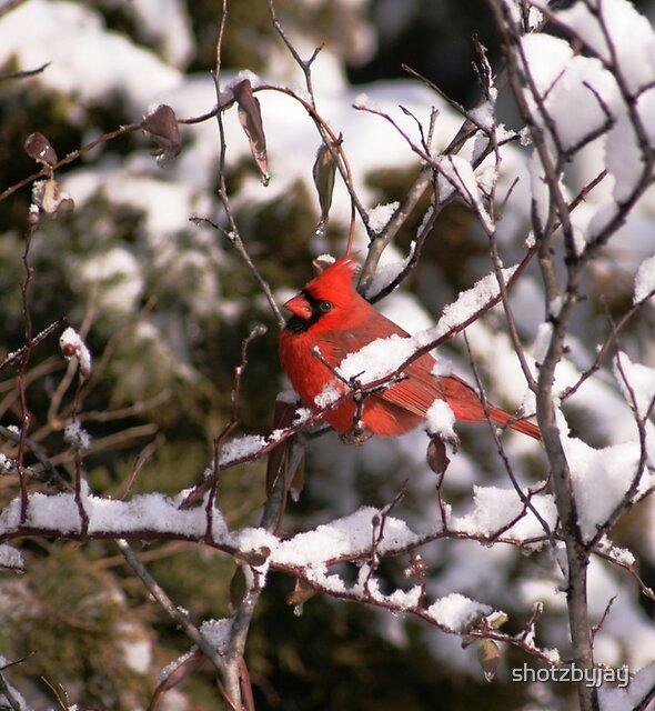 Male Northern Cardinal, Pose 2 by shotzbyjay