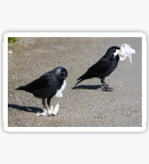 Jackdaws collecting nest material II Sticker