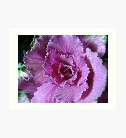 Pretty in Purple - Zierkohl Makro Kunstdruck