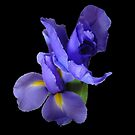 Incredible Iris on black by KazM