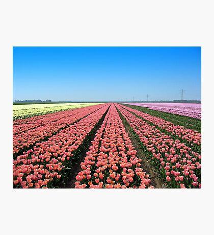 Tulips.. Tulips.. Tulips.. Photographic Print