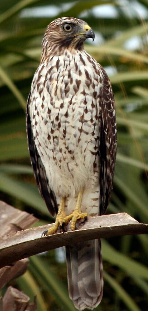 Hawk on Frond by Ricky Howard