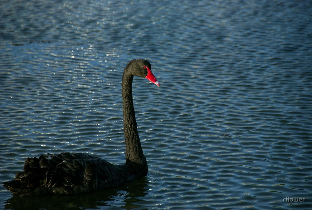 Just swanning about by rflower