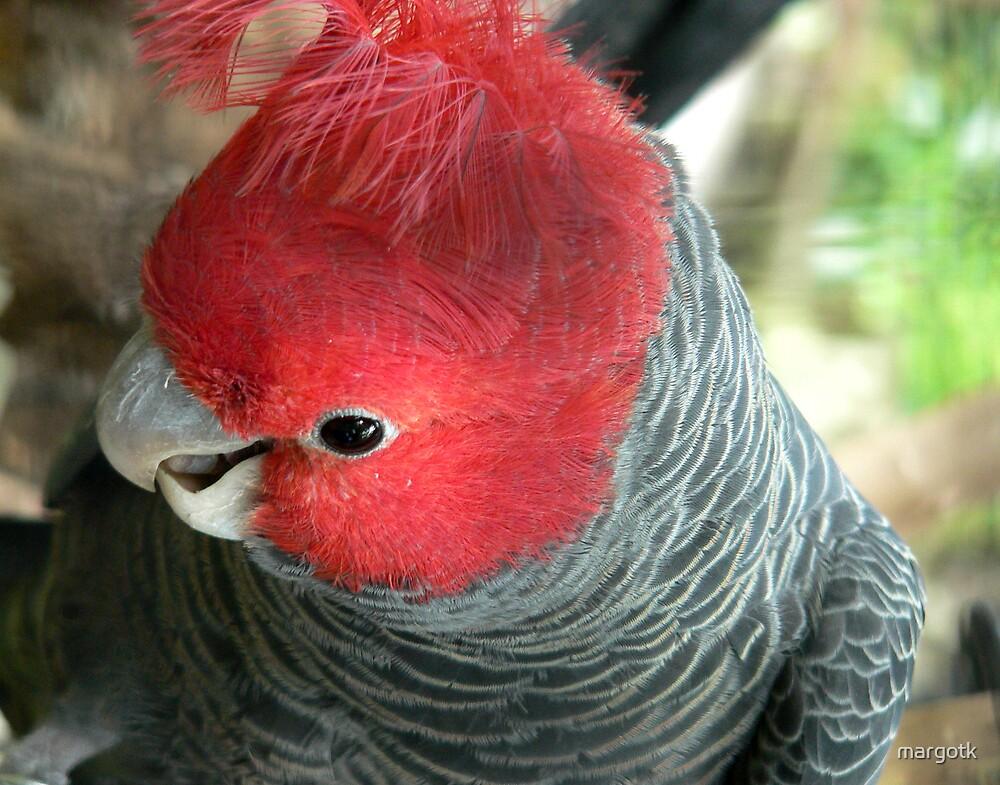 Gang Gang Cockatoo by margotk