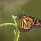 Monarch......Is this really me in my fine new suit.....? (7) by Roy  Massicks