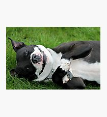 The Staffie Smile Photographic Print