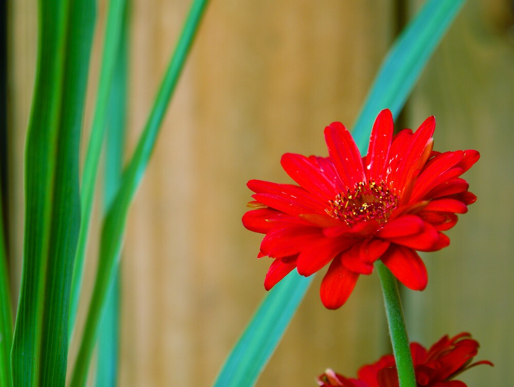 Simply Red by vonnie1989