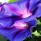 A Pair of Vibrant Morning Glories In Full Bloom by taiche