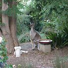 The Young Roo is sniffing the Air! 'Arilka', Adelaide Hills. by Rita Blom