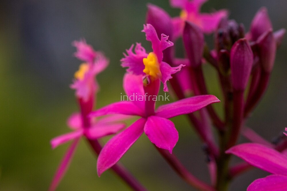 Australian native orchid (pink) by indiafrank
