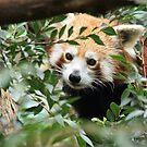 Red Panda by cs-cookie