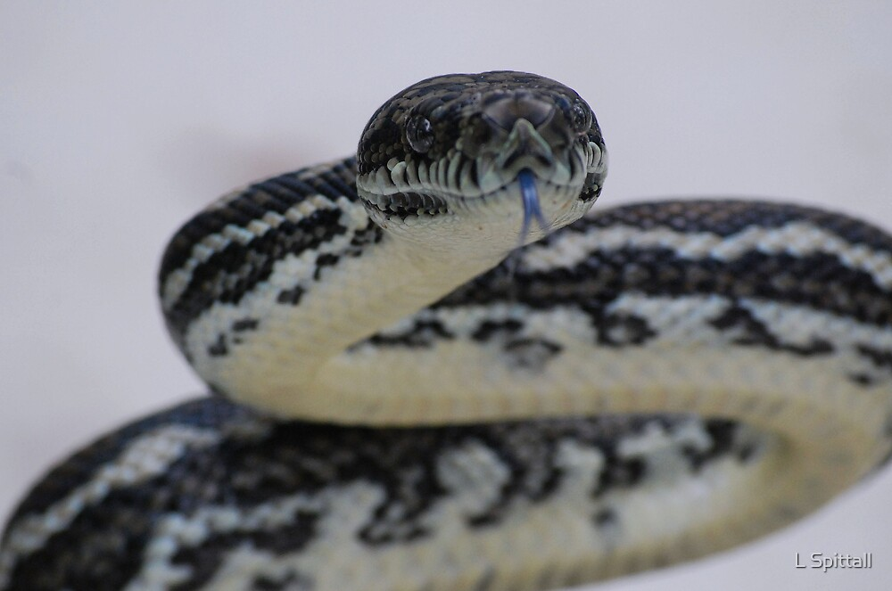 Blue tongued Carpet Python by L Spittall