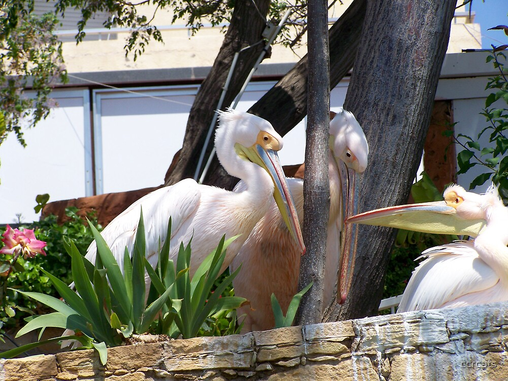 Pelicans x three by ccrcats