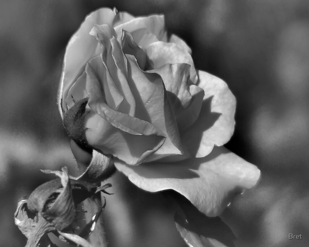 Rose by Bret