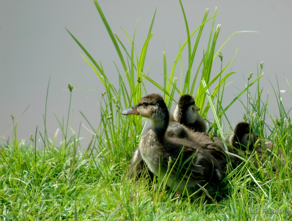 Ducklings by L.D. Franklin