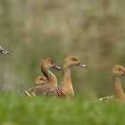 Plumed whistling ducks  by Margaret Stanton
