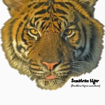 Sumatran tiger by mhackett