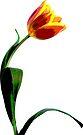 Psychedelic Tulip  by Sara Sadler