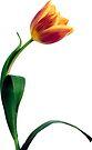 Natural Tulip flower by Sara Sadler