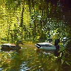 Ducks ...... On Reflection. by Billlee
