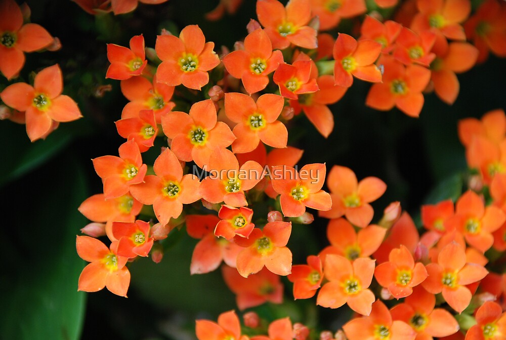 Orange Flowers by MorganAshley