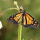 Monarch, Fly my beauty.......! (8) by Roy  Massicks