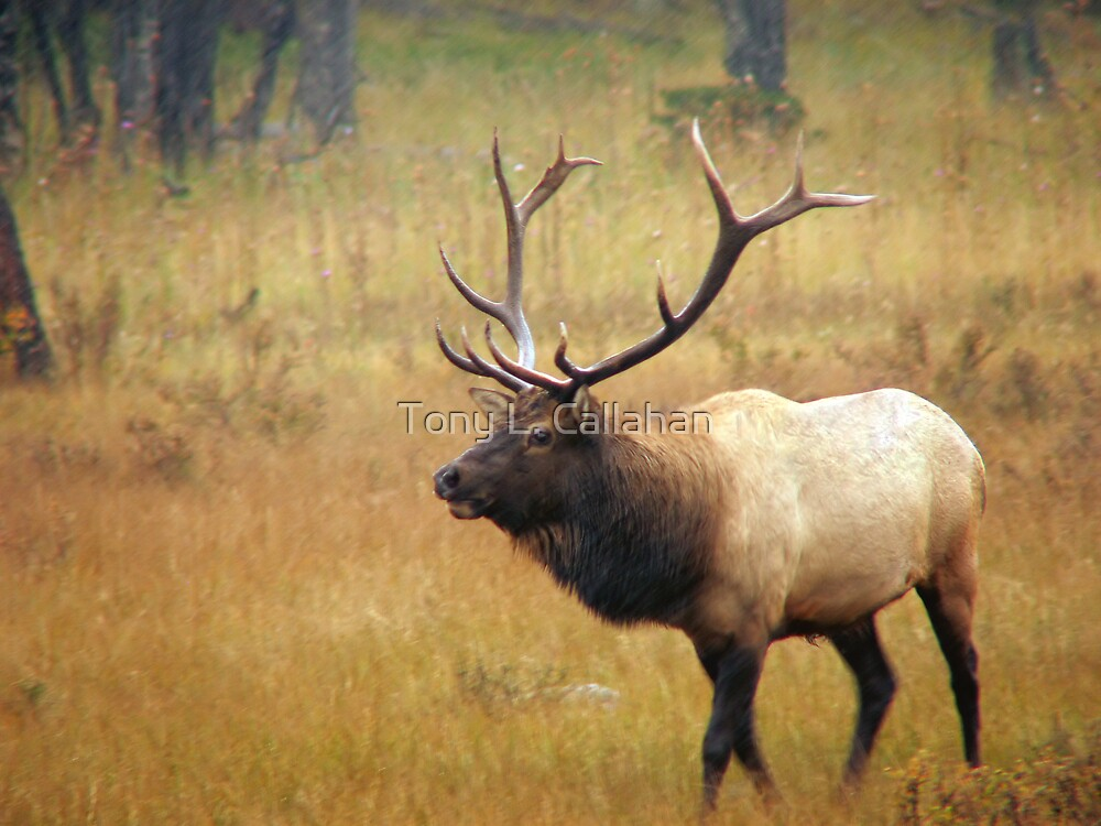 Bull Elk In An Autumn Storm by Tony L. Callahan