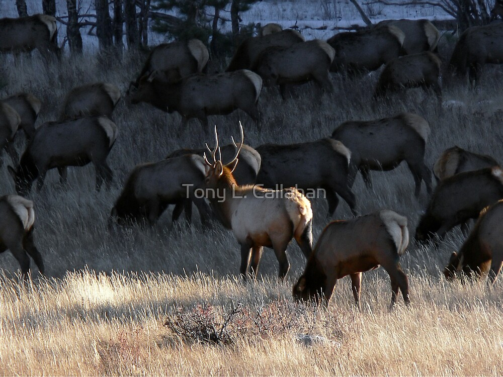 Bull Elk With His Harem by Tony L. Callahan