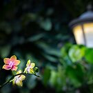 Orchids in the garden by Manon Boily