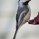 Poecile Atricapillus - Black-Capped Chickadee   Staten Island, New York by © Sophie W. Smith